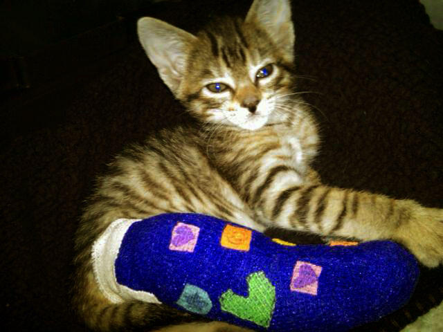East Rockaway Veterinary Hospital Kitten with a Broken Leg Understanding the Importance of pain management